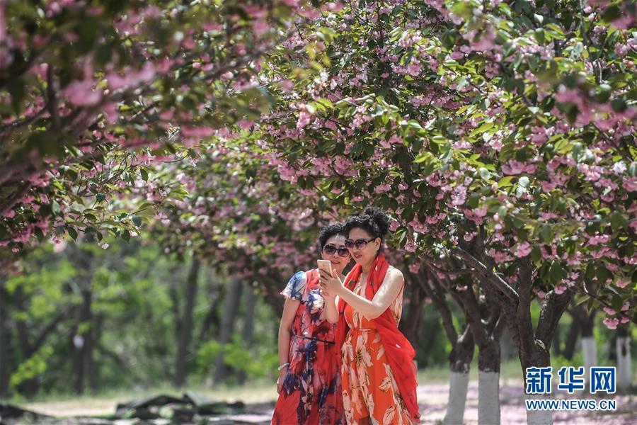 櫻花盛引游人