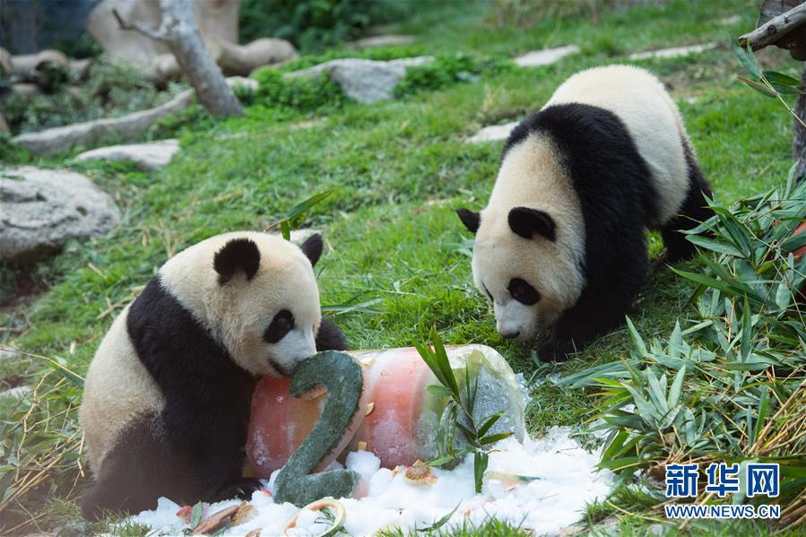 """澳门大熊猫""""健健""""""""康康""""迎来2周岁生日"""