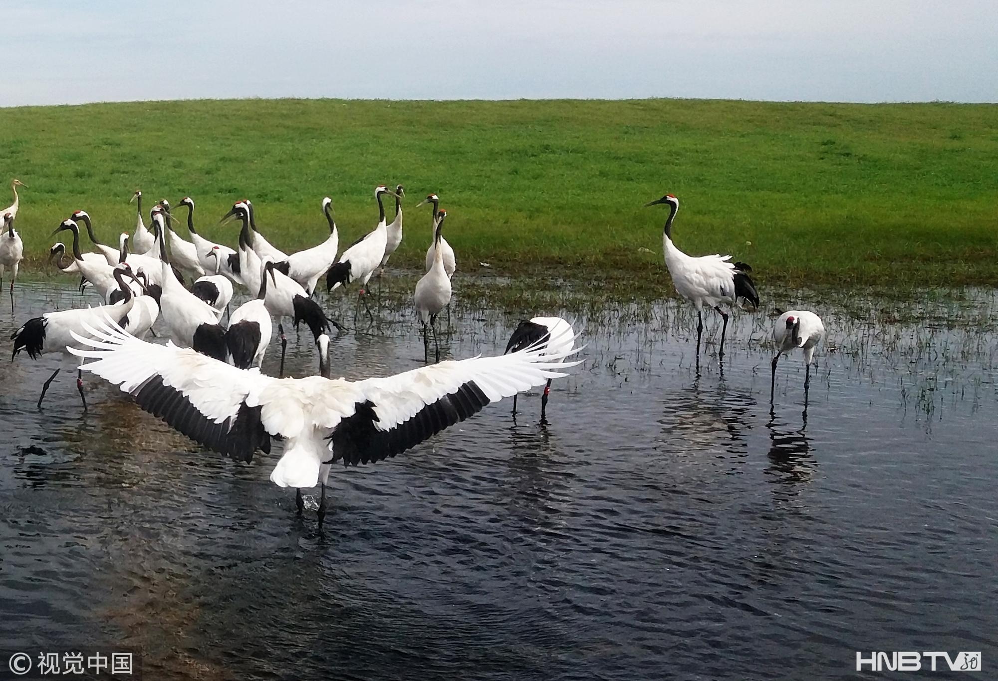 实拍黑龙江齐齐哈尔扎龙湿地 千名游客近距离欣赏丹顶鹤起舞