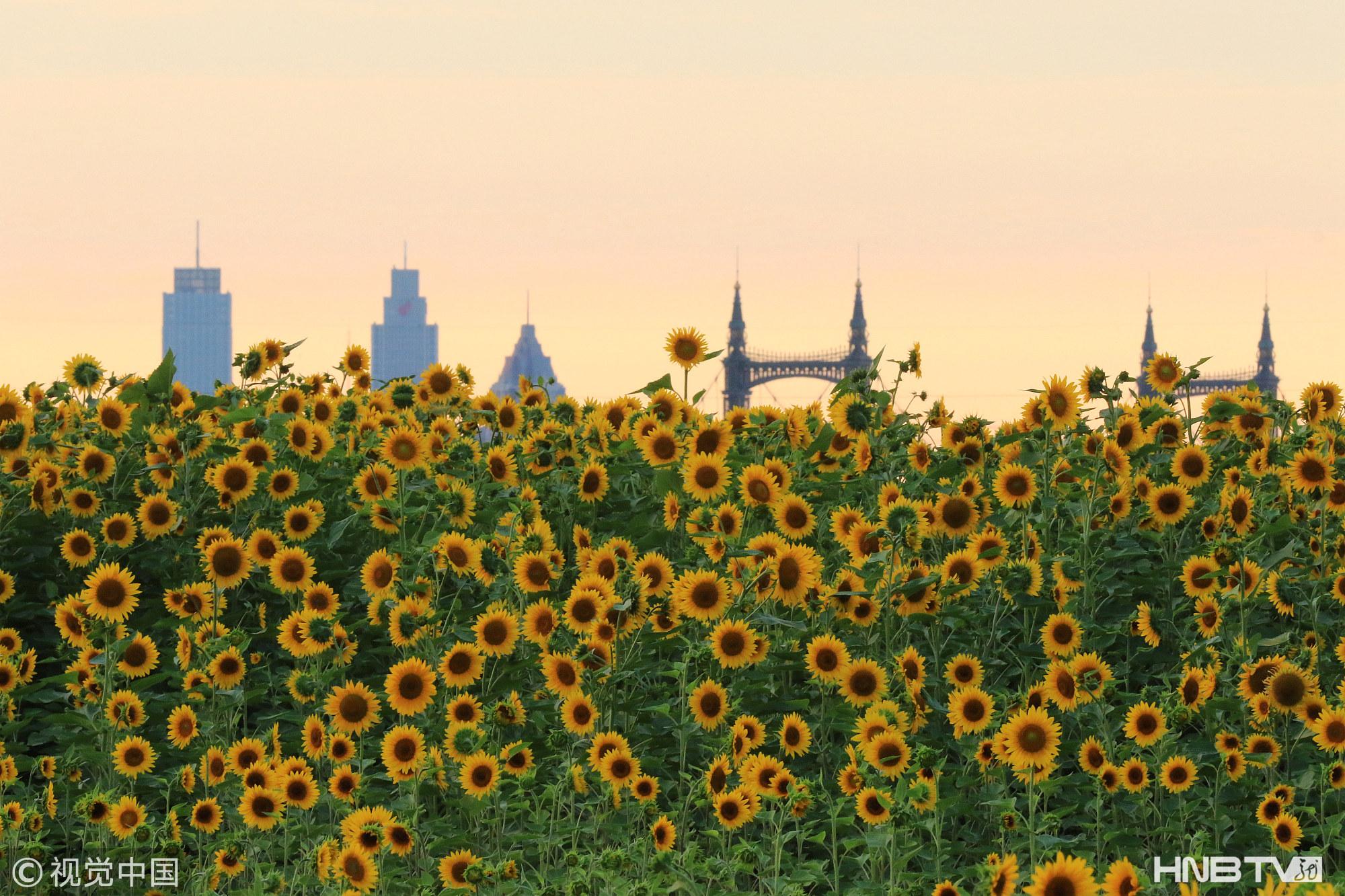 哈爾濱20萬株葵花綻放群力外灘  吸引市民賞花拍照(組圖)