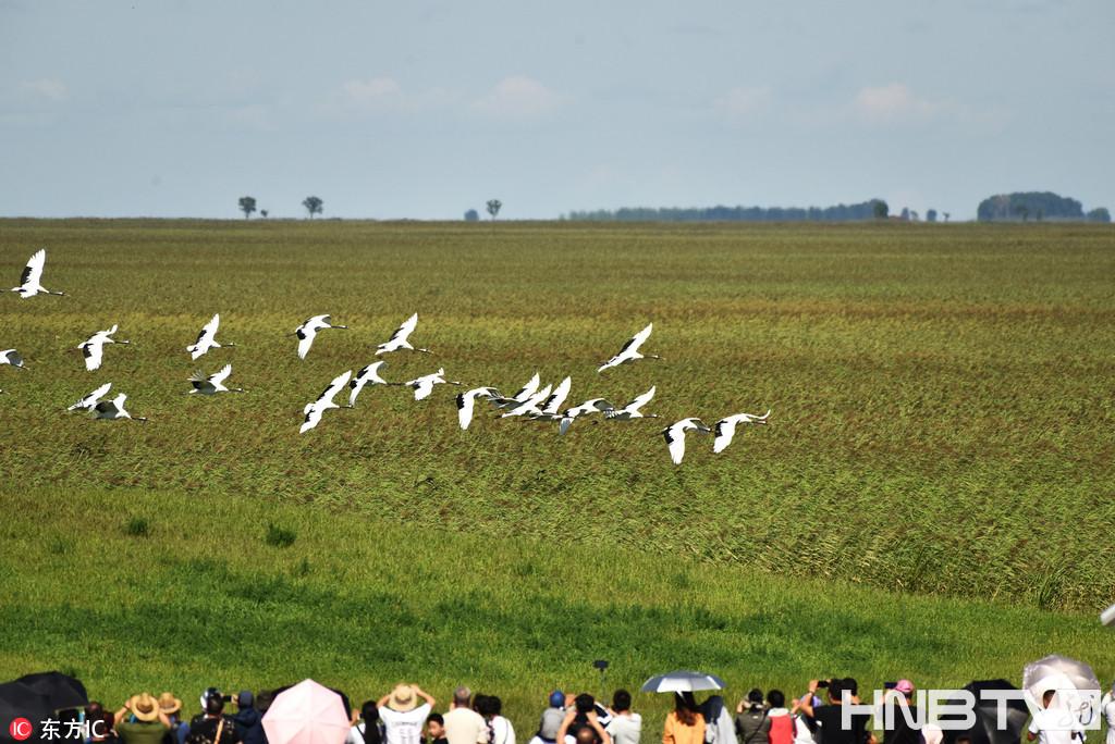 齐齐哈尔:秋高气爽气候宜人 扎龙自然保护区放飞丹顶鹤(组图)