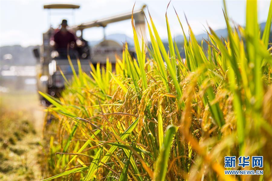 湖北保康:水稻开镰收割