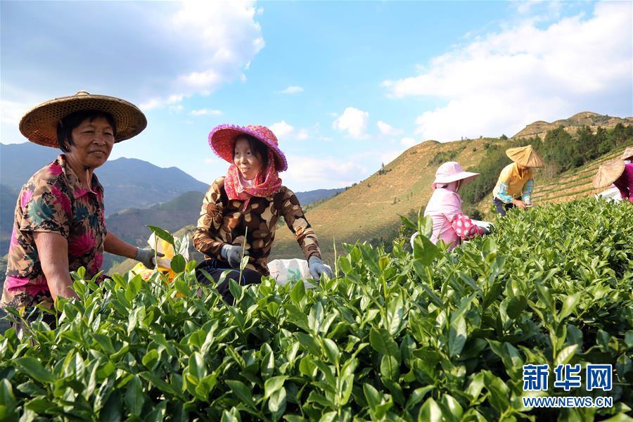 福建安溪:铁观音秋茶开采(组图)