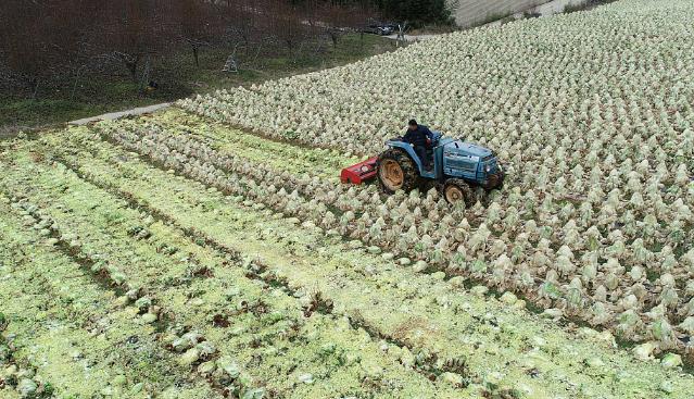 看着都心疼!韩国菜农铲除大片废弃白菜