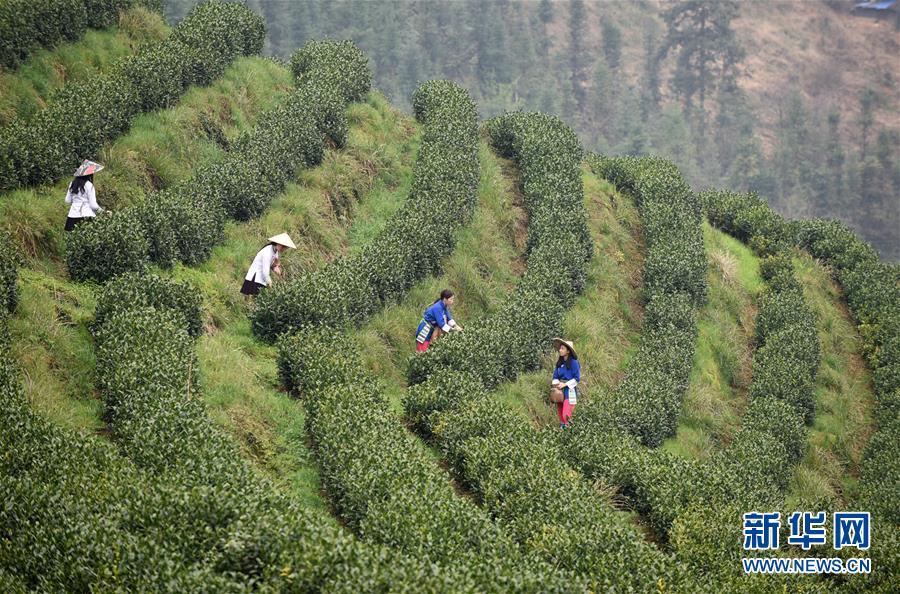 贵州春茶陆续开采(组图)
