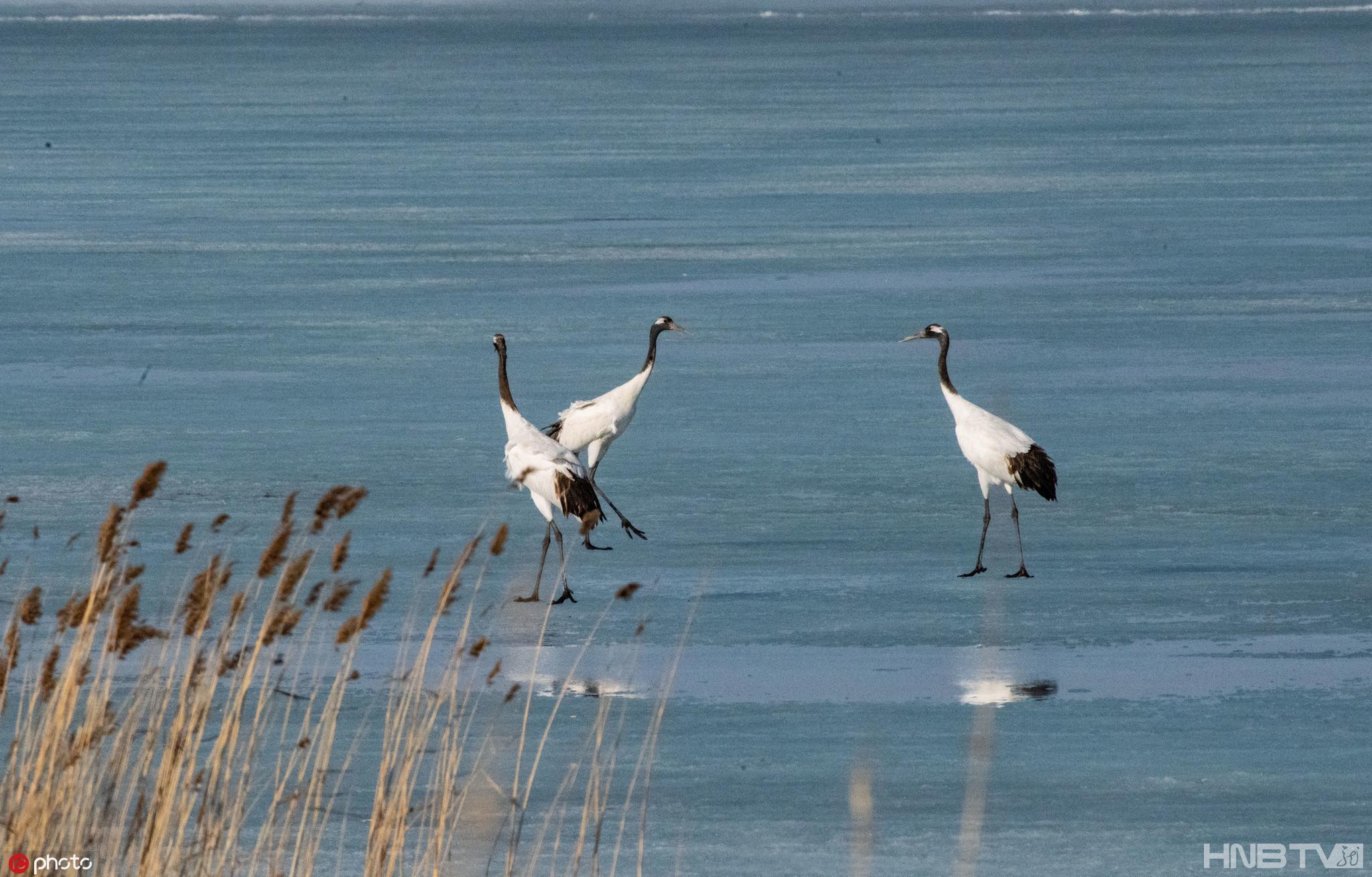 丹顶鹤从越冬地迁徙回扎龙自然保护区