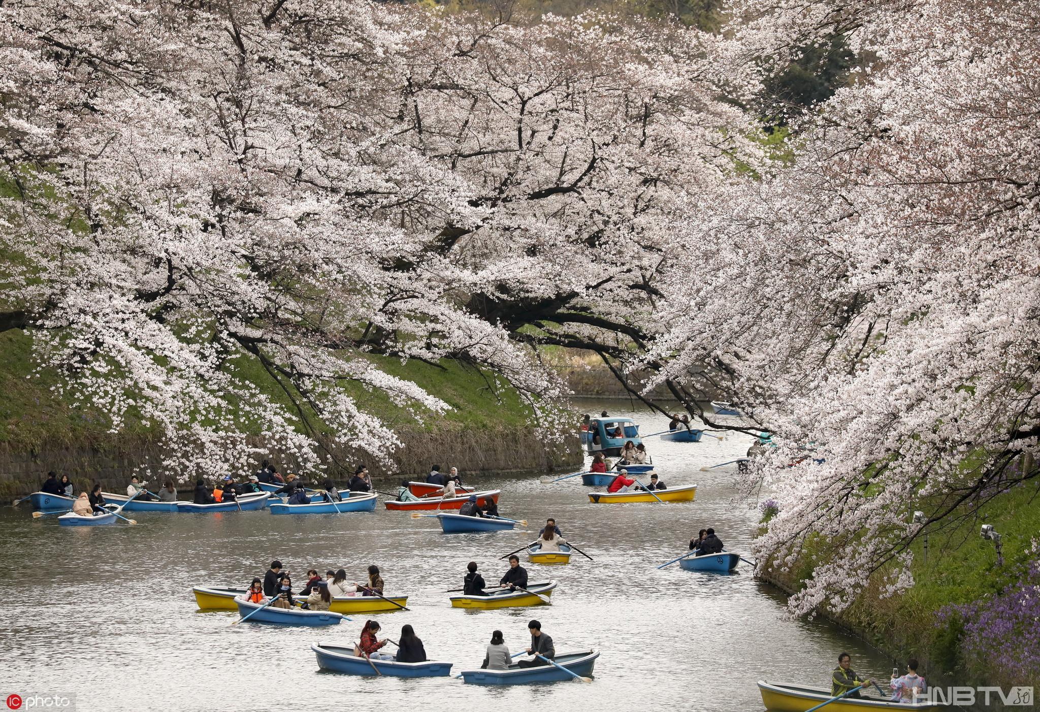日本东京樱花繁盛 游人护城河上泛舟赏樱超浪漫
