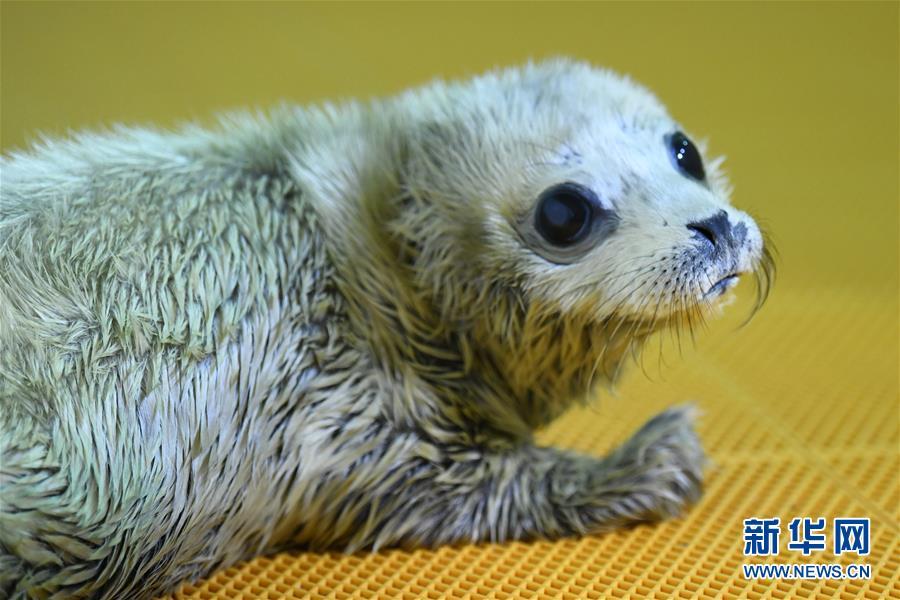 哈爾濱極地館迎來豬年首只海豹寶寶(組圖)