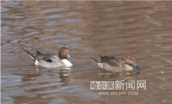 恋爱中鸭子选择到哈尔滨江北湿地度假
