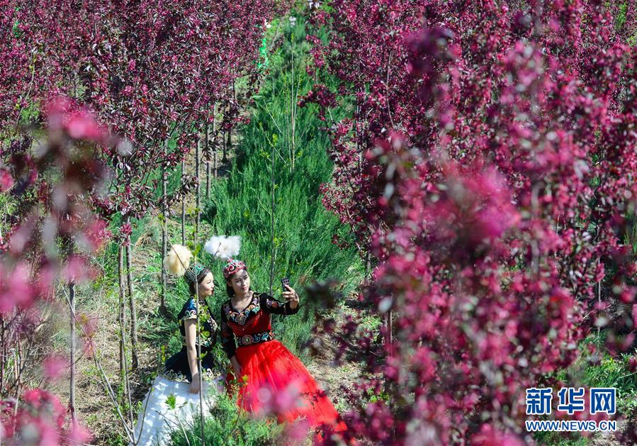 新疆:海棠花开春意浓(组图)