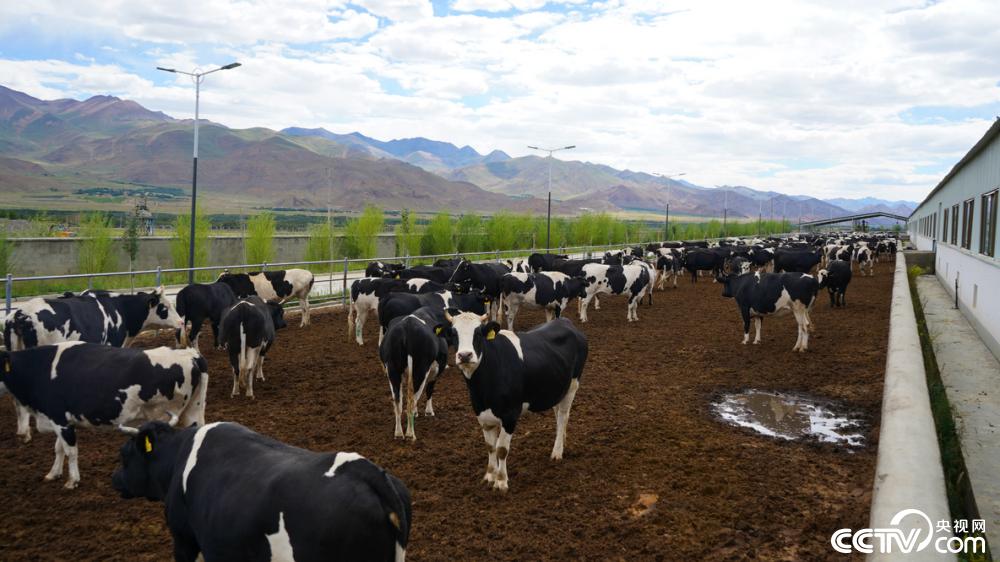 """【幸福花開新邊疆】在高海拔地區怎么養奶牛?這個縣給出""""標準""""答案"""