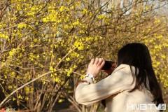 哈尔滨街头连翘花绽放 天气回暖争报春