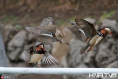 哈尔滨鸳鸯湖里来了30多只野鸳鸯 堪称23年来最多