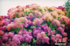 新疆博斯腾湖红柳花开似火现夏季湿地醉美画卷