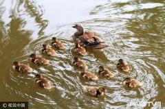 哈尔滨兆麟公园内21只小野鸳鸯宝宝跳巢 吸引众多摄影爱好者拍照(组图)