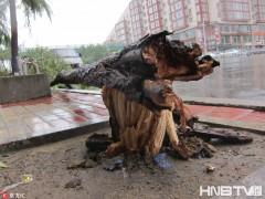 哈尔滨现大风暴雨 阵风达七级路边大树被吹倒