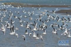 青岛入海口迎来大量越冬红嘴鸥
