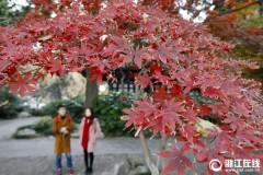 冷霜打红叶 美景在西湖
