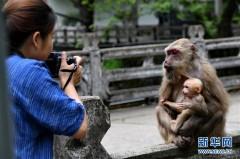福建武夷山:猕猴与人和谐相处