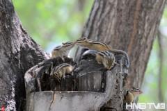 哈尔滨一窝6只野生小花栗鼠 占据天然树洞玩耍卖萌  (组图)
