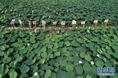 河北隆尧:夏日荷塘引客来