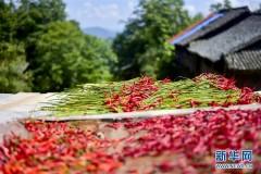 贵州从江:朝天椒助增收