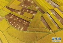 云南广南:金秋田野稻谷丰收