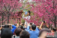 華南農業大學櫻花怒放吸引游人(組圖)