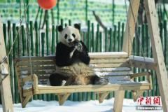 中国最北熊猫馆 明星熊猫雪中撒欢(组图)