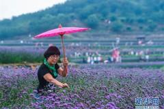 """夏日里的""""紫色花海"""""""