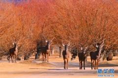 西藏山南:人工造林 动物安家