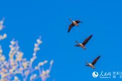 图说龙江:候鸟回归绰纳河国家级自然保护区(组图)