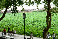 杭州:梅雨暂歇好赏荷