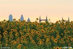 哈尔滨20万株葵花绽放群力外滩  吸引市民赏花拍照(组图)