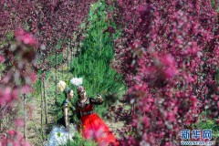 新疆:海棠花開春意濃(組圖)